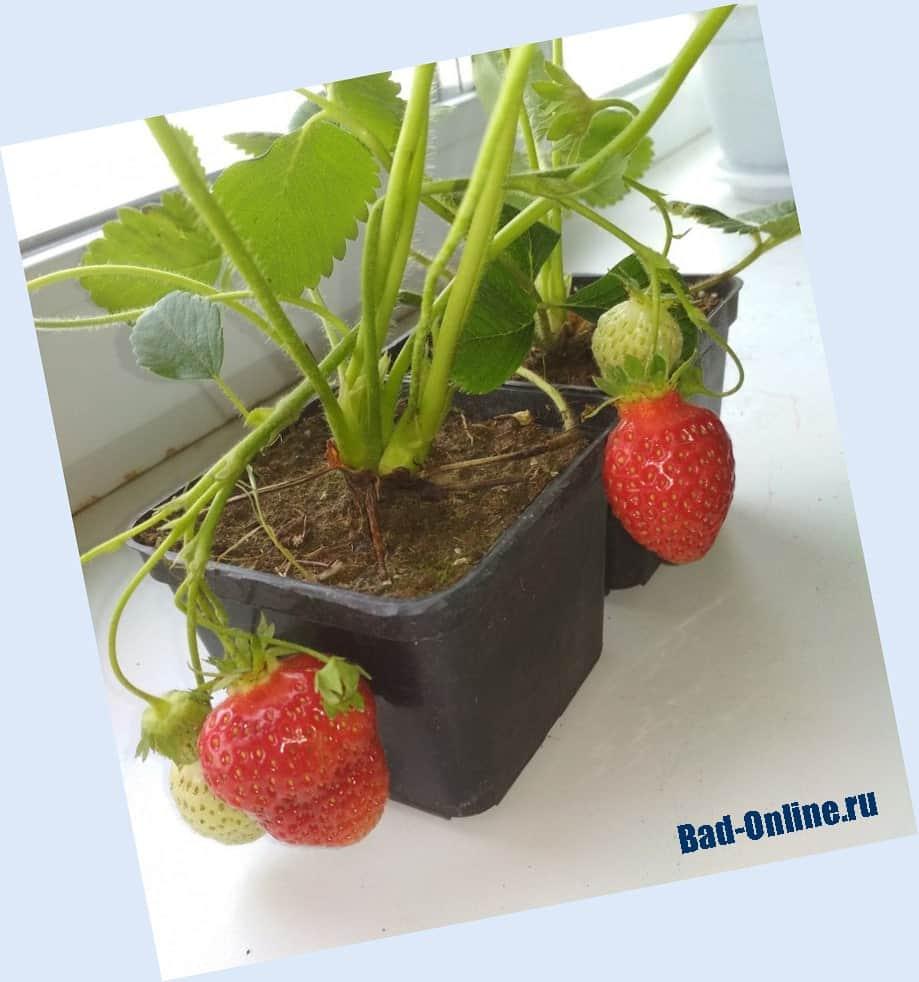 Что входит в комплектацию Домашней ягодницы на сайте Bad-Online.ru